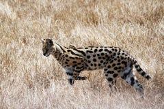 Serval de la caza Imagenes de archivo