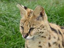 Serval, der heraus der Welt betrachtet lizenzfreies stockfoto