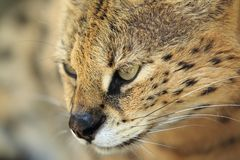 Serval detail Royalty Free Stock Images