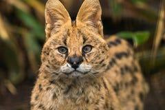 Serval di Leptailurus del Serval Fotografia Stock