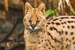 Serval di Leptailurus del Serval Immagine Stock