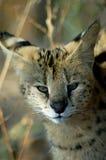 Serval di Leptailurus del Serval Fotografie Stock Libere da Diritti