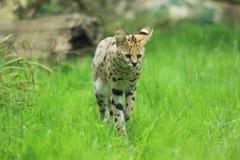 Serval di passeggiata immagine stock