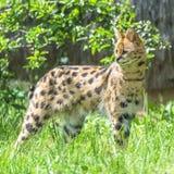 Serval djur royaltyfri bild