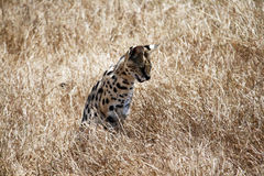 The serval Stock Photography