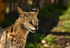 Serval. Felis serval.  close up Royalty Free Stock Photo
