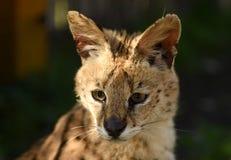 Serval. Felis serval. close up. Serval. Felis serval. Leptailurus serval. close up Stock Photos