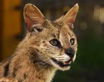 Serval Felis serval z bliska Zdjęcie Stock