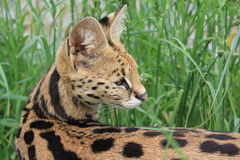 Serval, female Stock Photography