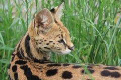Serval, femmina Fotografia Stock