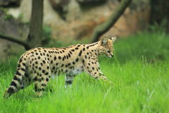 Serval in grass Stock Image