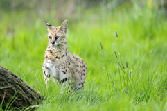 Serval in het gras Stock Fotografie