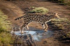 Serval i det löst i Kwazulu Natal Fotografering för Bildbyråer