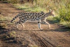 Serval i det löst i Kwazulu Natal Royaltyfri Bild