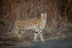 Serval i det löst i Kwazulu Natal Arkivfoto