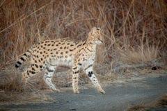 Serval i det löst i Kwazulu Natal Arkivbild