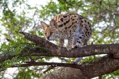 Serval i ett träd på kruger Arkivfoton