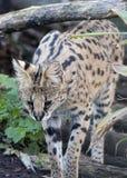Serval i fångenskap Royaltyfria Bilder