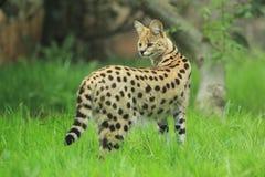 Serval i gräs royaltyfri fotografi