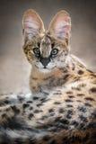 Serval-Kätzchen Lizenzfreies Stockbild