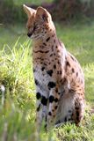 Serval-Katze Lizenzfreies Stockfoto