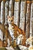 Serval-Katze mit Klotz-Hintergrund stockbilder