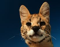 Serval Kitten looking into lens Stock Photography