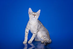 Serval kitten playing in the studio on a blue background isolate Stock Image