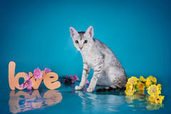 Serval kitten playing in the studio on a colored background isol Stock Images