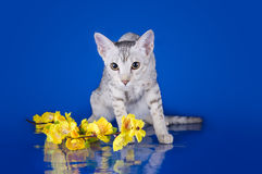 Serval kitten playing in the studio on a colored background isol Stock Photo