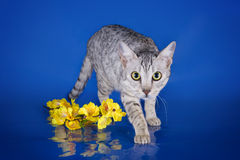 Serval kitten playing in the studio on a colored background isol Royalty Free Stock Images