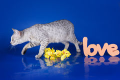 Serval kitten playing in the studio on a colored background isol Royalty Free Stock Photo