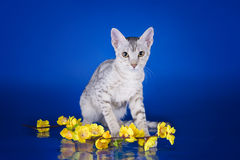 Serval kitten playing in the studio on a colored background isol Stock Photography