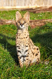 Serval Kitten Sitting Looking Upwards Royalty Free Stock Photography