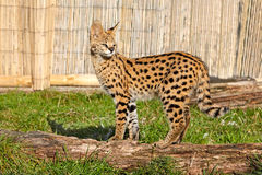 Serval Kitten Standing on Log in Sunshine Stock Images