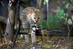 Serval kota Felis serval Fotografia Stock
