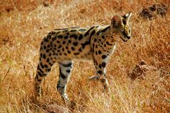 Serval kota Tanzania safari fotografia royalty free