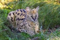 Serval at kruger national park Stock Images
