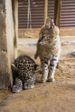 Serval and leopard cat Stock Photography