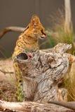 Serval - Lepitailurus Photo stock