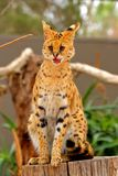 Serval - Lepitailurus Image stock