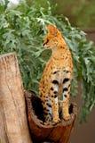 Serval - Lepitailurus Photo libre de droits