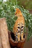 Serval - Lepitailurus Royalty Free Stock Photo