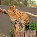 Serval - Lepitailurus Stock Photography