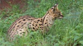 Serval - Leptailurus serval. A Wild Serval - Leptailurus serval royalty free stock photo