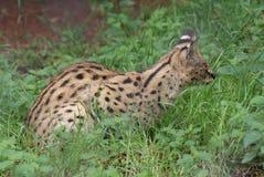 Serval - Leptailurus serval Royalty Free Stock Photo