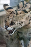 Serval (Leptailurus serval) Royaltyfria Bilder
