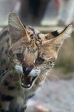 Serval (Leptailurus serval). Also known as the tierboskat. Wildlife animal stock photo