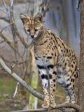 Serval, Leptailurus serval, carefully observes the surroundings. The Serval, Leptailurus serval, carefully observes the surroundings royalty free stock photography