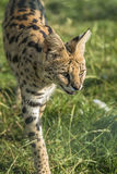 Serval (Leptailurus serval). Closeup of Serval (Leptailurus serval) walking in the grass Royalty Free Stock Photography